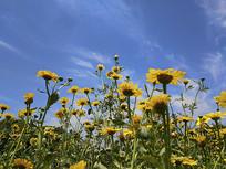 蓝色天空野菊花