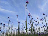 蓝天紫色球冠花