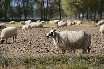 绵羊羊群头领