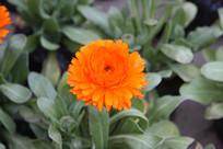 一朵黄菊花