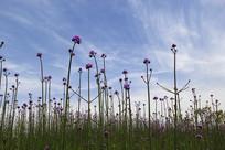 紫色球冠花花海