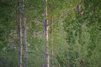 春天的白杨树