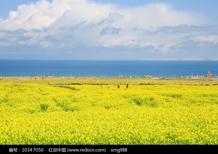 大美青海湖油菜花花海图片