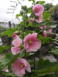 粉色蜀葵花朵