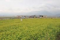 高原油菜花
