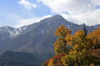 金色秋林雪山背景