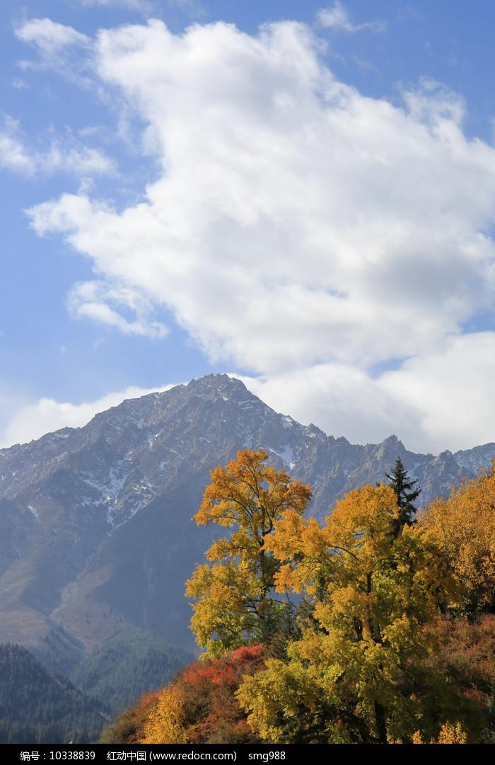 蓝天雪山金秋树林图片