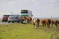 牛群过马路