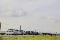 青藏高原过马路的牛群