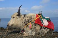 青海湖岸卧立牦牛