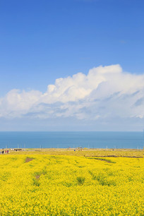 青海湖油菜花美景