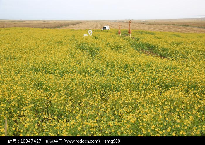 青海湖油菜花田园图片