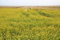 青海湖油菜花田园