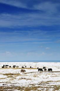 青海湖雪山牧场