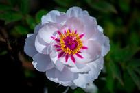 白牡丹的花蕾和花瓣