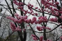 春天里的桃花