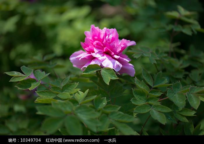 单株牡丹花图片