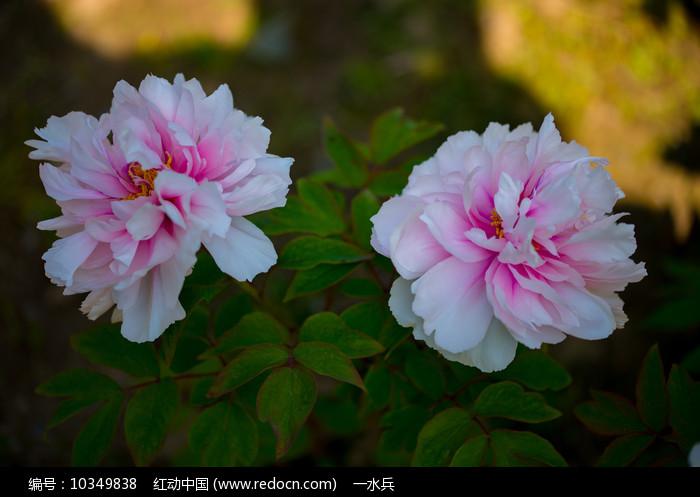 二朵粉红色的牡丹花图片