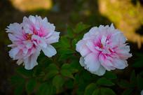 二朵粉红色的牡丹花