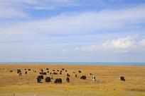 放牧牦牛青海湖畔