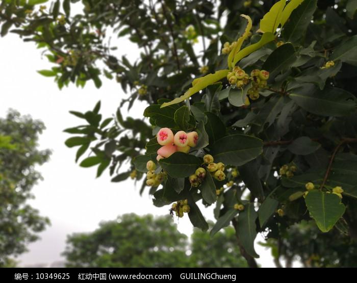 粉嫩的洋蒲桃幼果图片