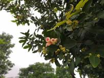 粉嫩的洋蒲桃幼果