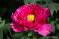 红牡丹花蕾