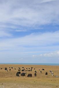 蓝天下的青海湖牦牛牧场