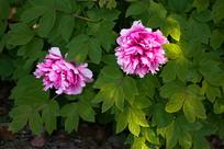 两朵美丽的牡丹花