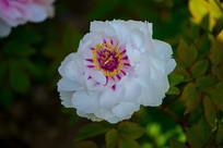 牡丹花的花蕾和花瓣
