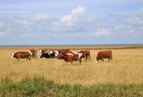 牛群在青海湖畔吃草