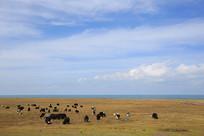 青海湖草场放牧牦牛