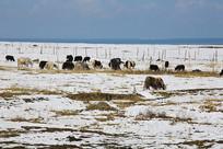 青海湖放牧牦牛