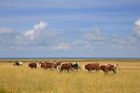 青海湖牛群