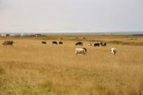青海湖牧场牛群