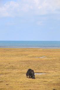 青海湖牦牛吃草
