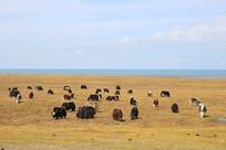 青海湖牦牛牧场
