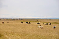 青海湖畔牧场牛群摄影