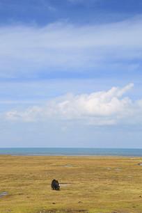 青海湖畔牦牛