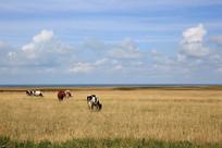 青海湖畔深秋草原放牧奶牛群