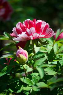 盛开的牡丹花与花苞