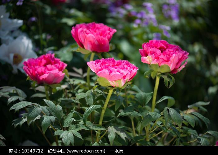 四朵牡丹花图片