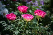 四朵牡丹花