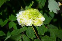 一朵白牡丹花