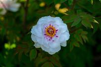 一朵白牡丹花瓣和花蕾