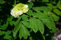 一朵待放的白牡丹花