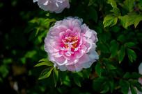 一朵粉红色的牡丹花