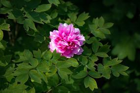 一朵牡丹花