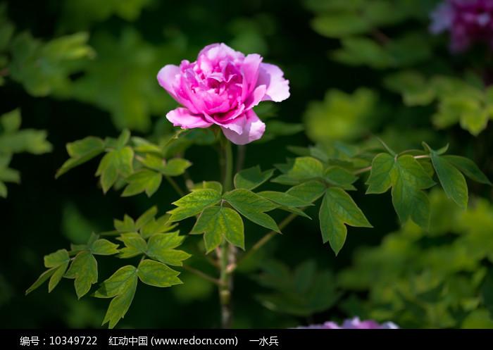 一朵牡丹花与枝叶图片