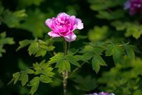 一朵牡丹花与枝叶